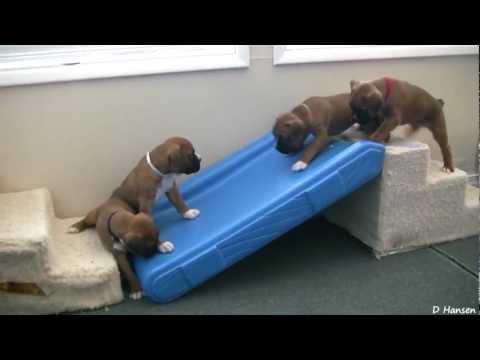 Cute 4 Week Old Boxer Puppies Playing - 4 hetes boxer kölykök játszanak