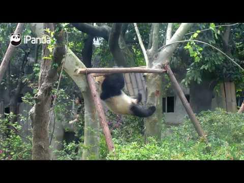 Panda handles monkey bar like a gymnast!