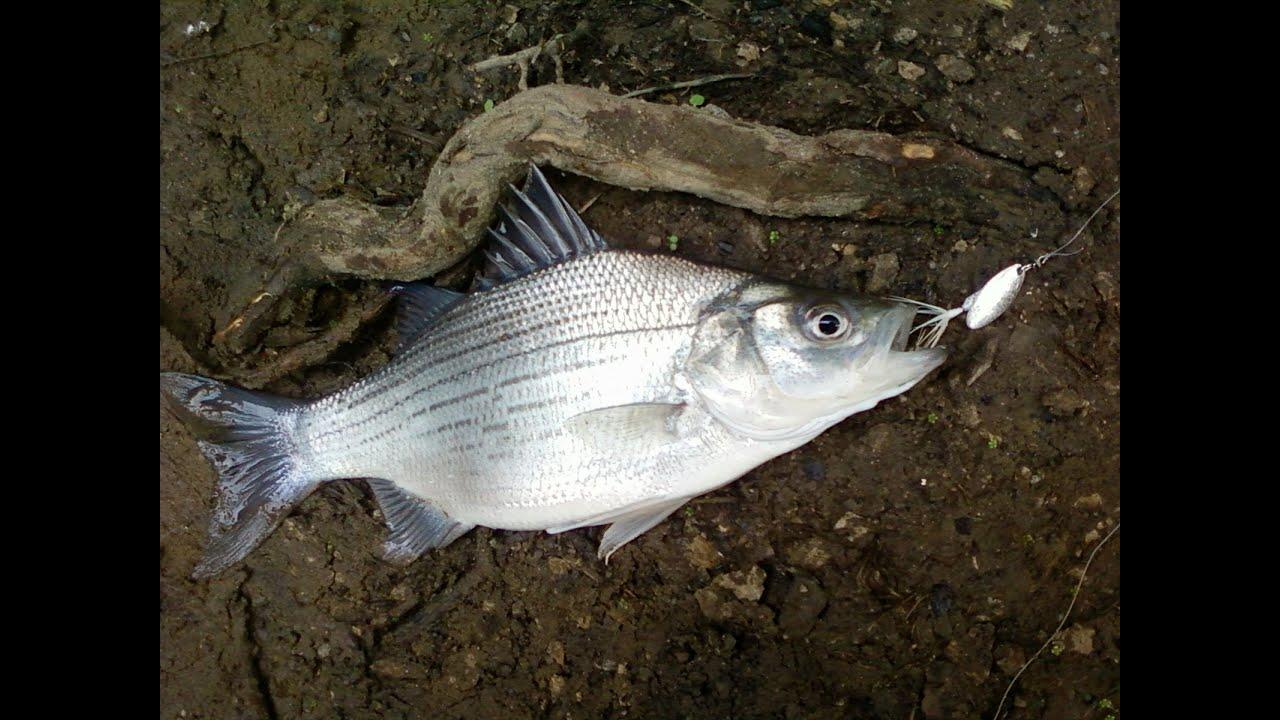 White Bass Honey Hole Fishing Youtube