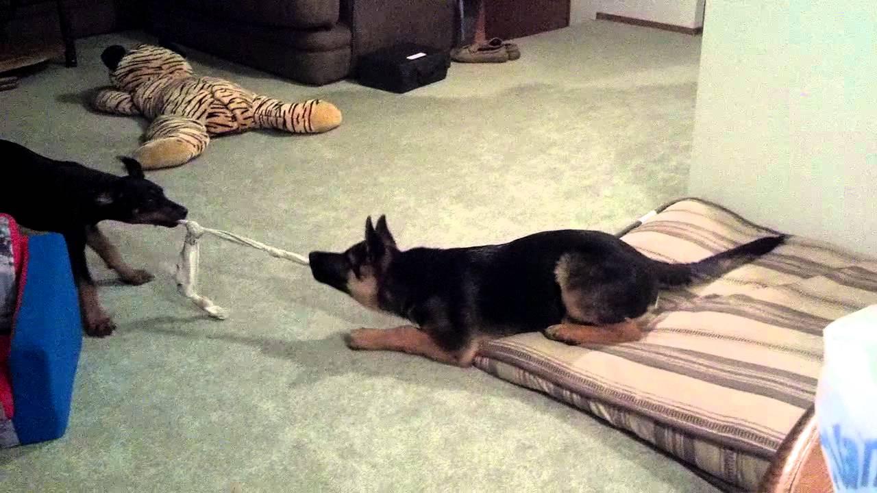 German Shepherd vs Doberman Pinscher