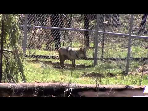 Mexican Grey Wolf habitation in Arizona