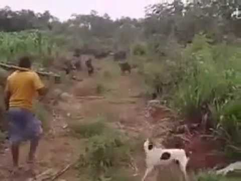 Caçador valente enfrenta porcos do mato. Vara contra vara ;)