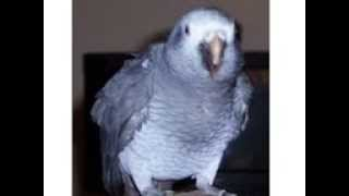 Amazing Talking Parrot swearing Bird, pet
