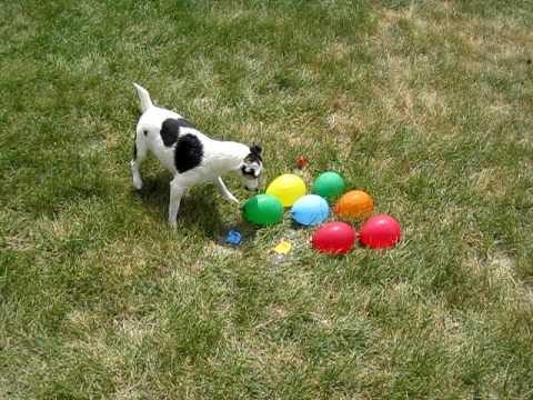 DOG vs. WATER BALLOONS