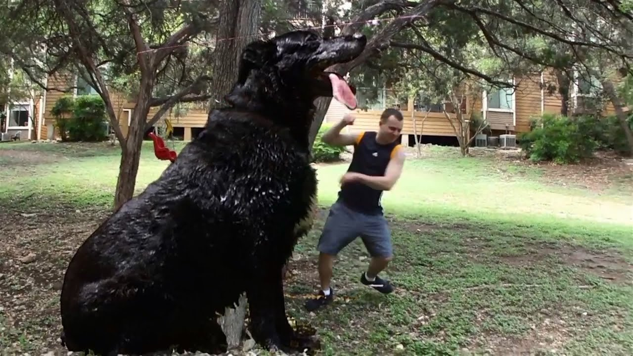 Worlds Biggest Dog Hercules | Male Models Picture