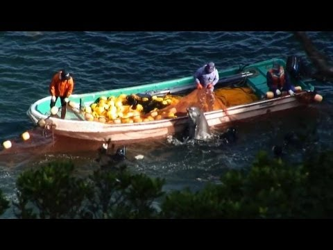 Japanese dolphin hunt continues despite controversy