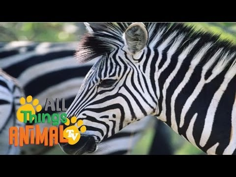 Kids Educational Videos: Zebra