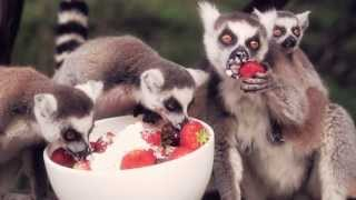 Lemurs Eating Strawberries and Cream