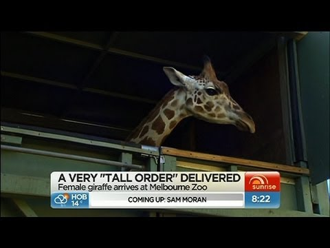 Giraffe moved to Melbourne Zoo