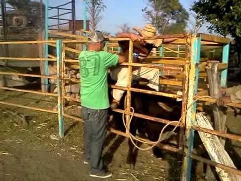 la monta del siglo abel jineteando al toro el catrin