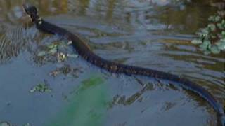 Swimming Water Moccasin Snake