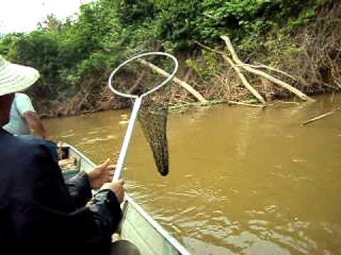 O maior Peixe do mundo,   Rio São Lourenço  MT.AVI