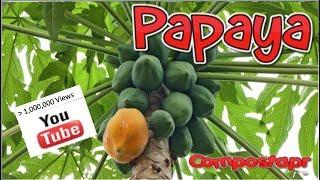 Papaya en el huerto