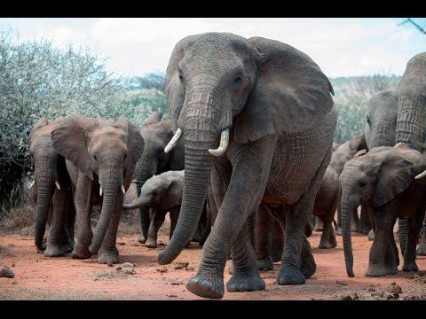 An Elephant's Tale: The Matriarch | WCS