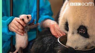 Panda Doesn't Realise She's Had Twins! | BBC Earth