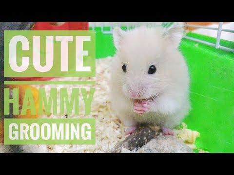 Cute hamster grooming itself