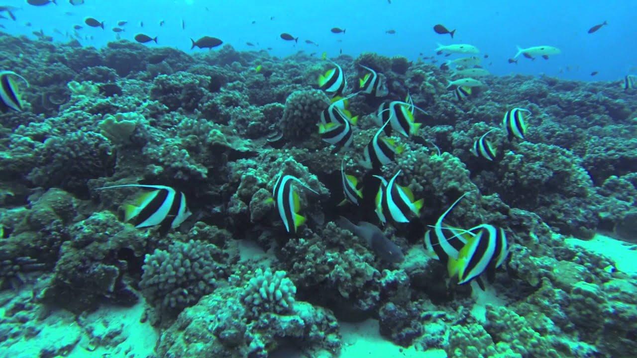 Molokini maui hawaii mid reef sharks rays fish go pro for Edible hawaiian fish