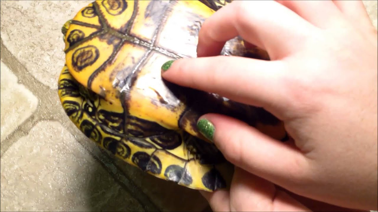 How To Tell If Your Turtle S Shell Is Healthy Spot Shell