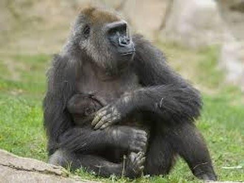 San Diego, Mỹ: Chú khỉ đột sơ sinh đi dạo cùng mẹ
