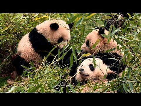 Raw Video: Behind the Scenes at Chengdu Panda Base with First Lady Michelle Obama
