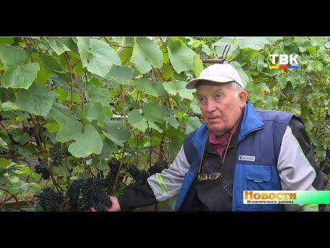 Почти 140 сортов винограда на приусадебном участке. А. Сидорович из п. Мичуринский о любви к этой удивительной культуре
