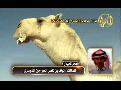 الفحل كحيلان للمالك نواف بن ناصر الحراجين الدوسري