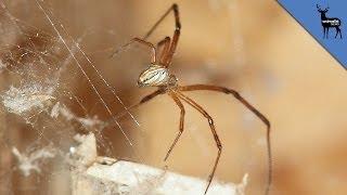 This Spider Twerks To Avoid Death