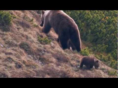 Str�ca divo�iny - Medvede v tatr�ch