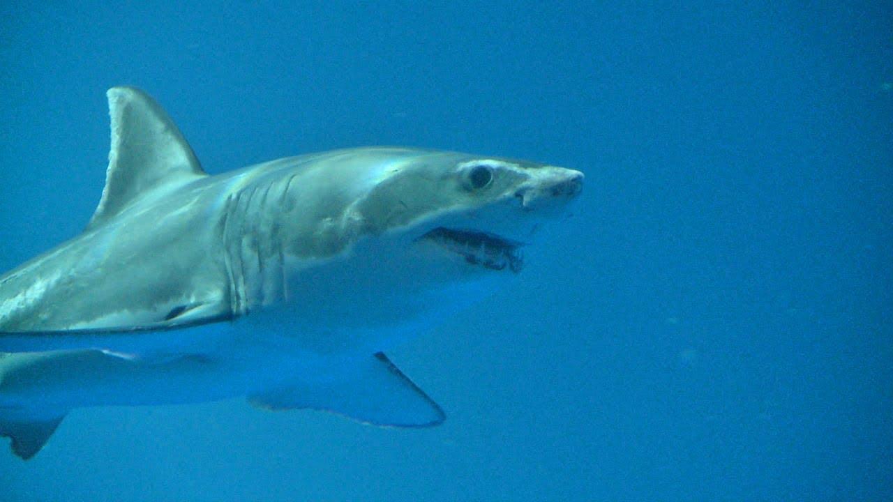 Great White Shark on Exhibit: September, 2011 - YouTube