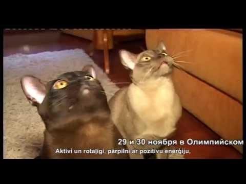 Burmas kaķi