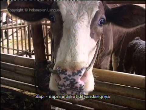 Lihat Ini Peternakan Sapi Perah di Jawa