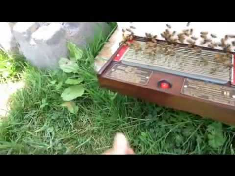 Canada 2012 bee venom collection wmv