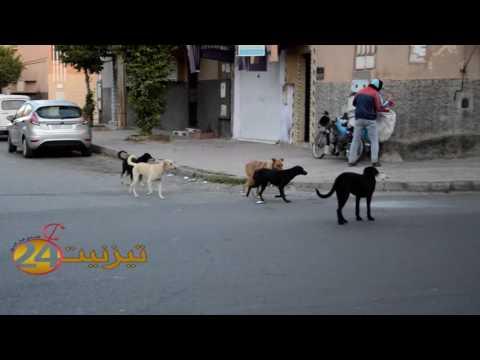 كلاب ضالة تتجول بتيزنيت