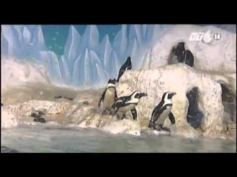 VTC14_Pengo là chú chim cánh cụt đầu tiên mang quốc tịch Việt Nam