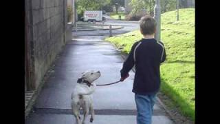 Staffordshire Bull Terrier The 'Real' Story