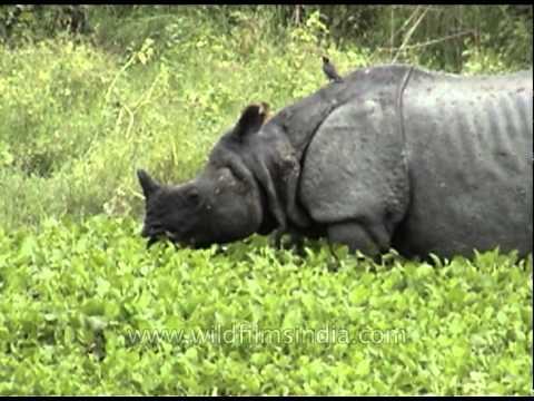 One-horned Indian Rhinoceros
