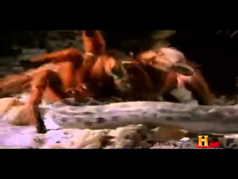 Camel Spiders & other Huge Arachnids british Documentary Part 3