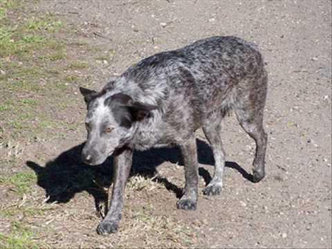 Cachorro Jiló.wmv