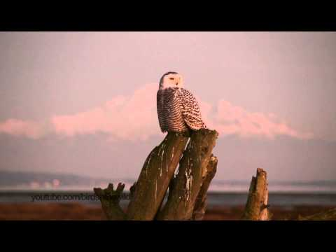Snowy Owl on mountain background