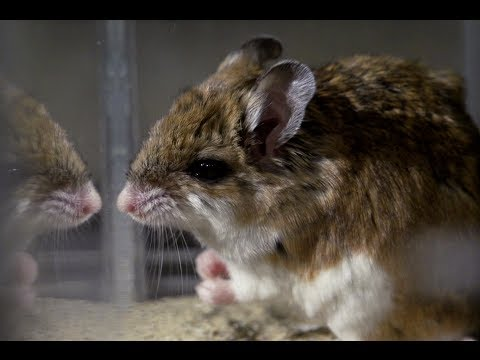 Vermin vs. Venom - The Grasshopper Mouse