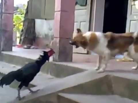 Chó và Gà Chọi đánh nhau AC