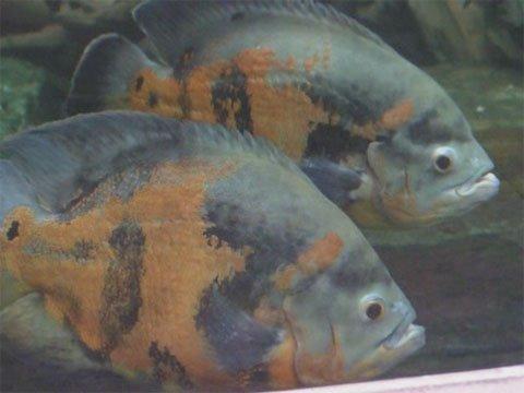 Full grown oscar fish - photo#11