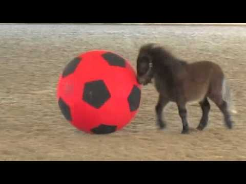 Mini horse foal plays with a giant ball.m4v