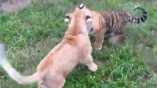 Pelea Sangrienta Leon Vs Tigre