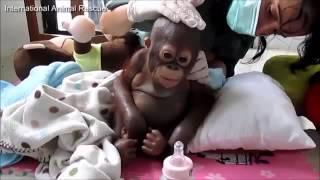 Budi - El bebé orangután