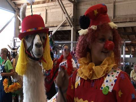 Llamas in costume -- and other llama tales, Llamas are best known for their work as pack animals in the highlands of Peru. At the Minnesota State Fair, however, they've set aside the trekking supplies ...