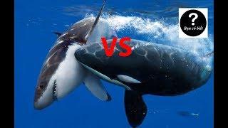 Cá Voi Sát Thủ vs Cá Mập Trắng, con nào sẽ thắng #20    Bạn Có Biết?