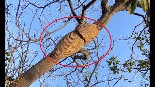 Tổ của loài vật này khiến người dân vùng nông thôn lo ngại