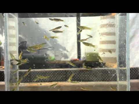 Wild Guppies From Greenhouse Pond Part l