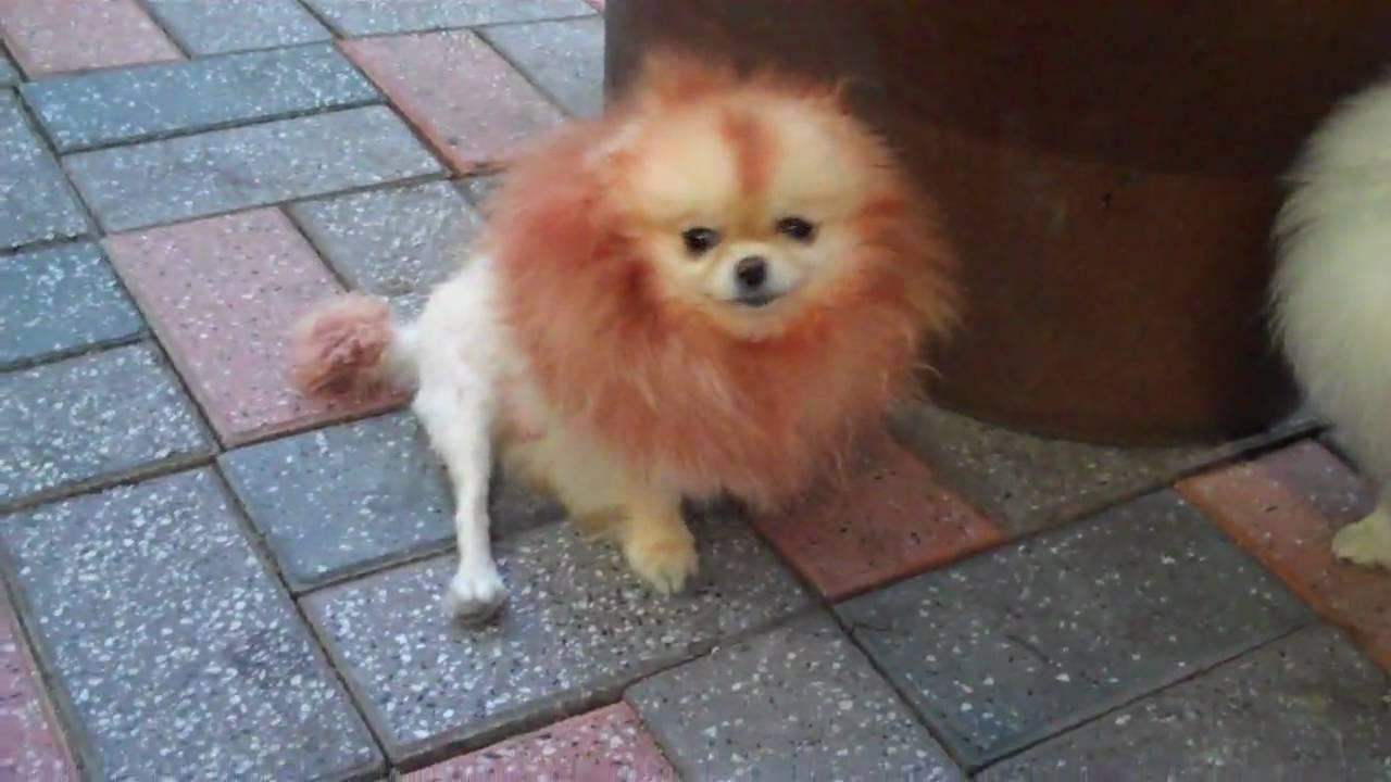 Grooming Your Pomeranian Like A Show Dog